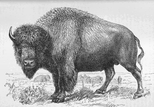 Animal Scoop Buffalo Bison